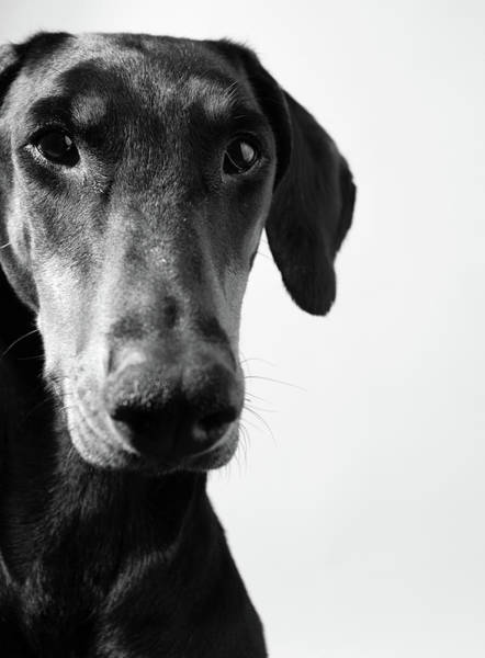 Doberman Wall Art - Photograph - Dobermann by Sensorspot