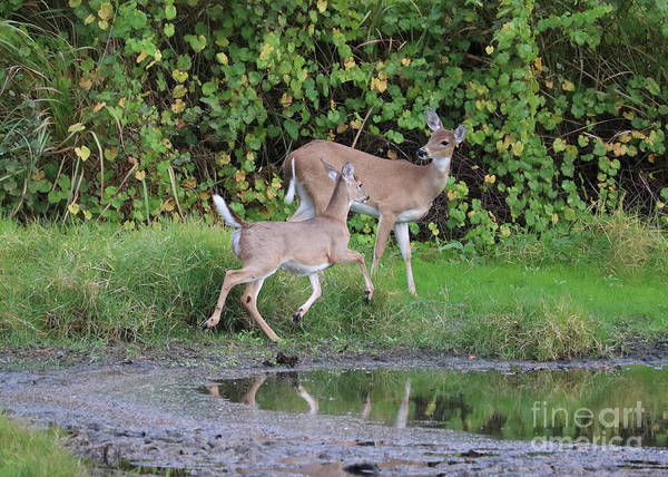 Photograph - Doe And Fawn By Pond by Carol Groenen