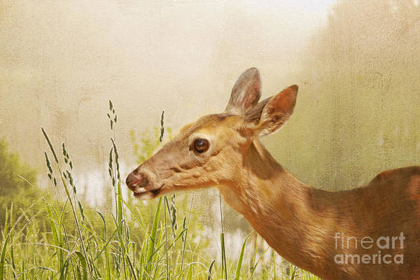 White Tailed Deer Photograph - Doe At Dawn by Laura D Young