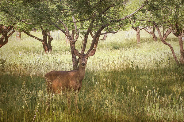 Wall Art - Photograph - Doe In The Apple Orchard by Donna Kennedy
