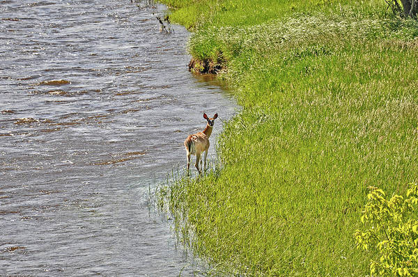 Photograph - Doe On The Banks Of The Laramie River by Chance Kafka