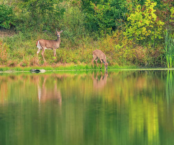Photograph - Doe Reflection by Dan Sproul