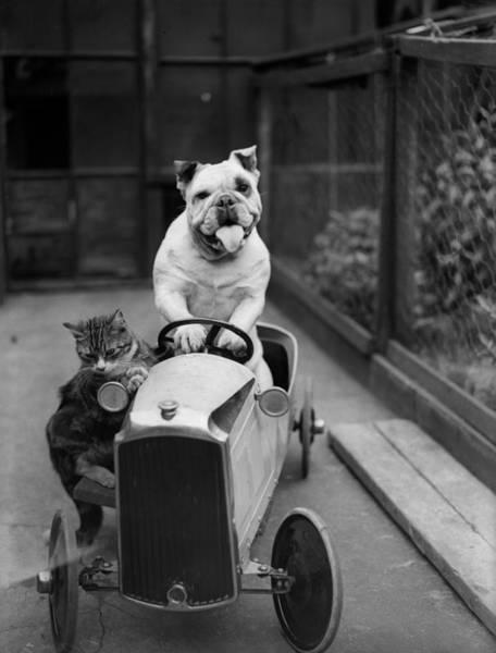 Photograph - Dog And Cat Car by Fox Photos
