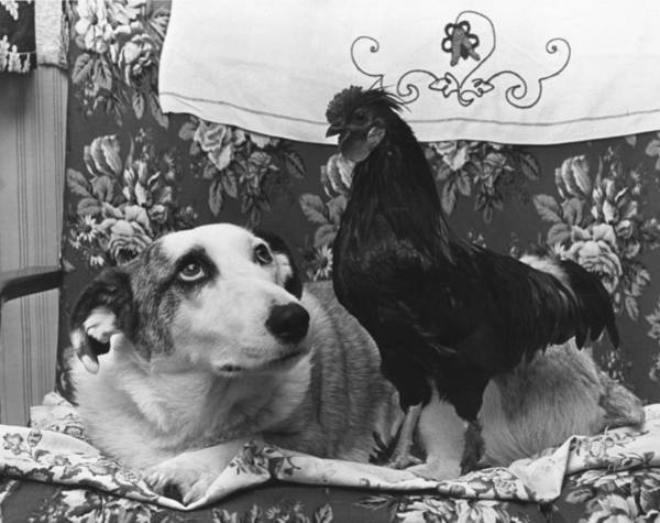 Poultry Photograph - Dog And Cock by Fox Photos