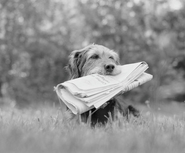 Dog Photograph - Dog Holding Newspaper by H. Armstrong Roberts
