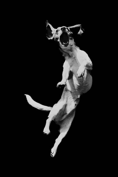 Dog Photograph - Dog In Mid-air Jump B&w by Henry Horenstein