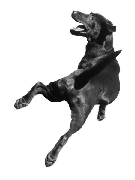 White Dog Photograph - Dog In Mid-air Jump, Rear View B&w by Henry Horenstein