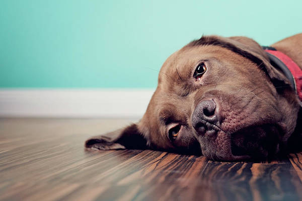 Little People Photograph - Dog Lazing On Wood Floor With Blue by Little Brown Rabbit Photography