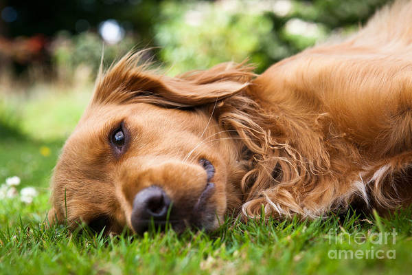 Wall Art - Photograph - Dog Lieing On Its Side Looking Into The by Sam Chadwick