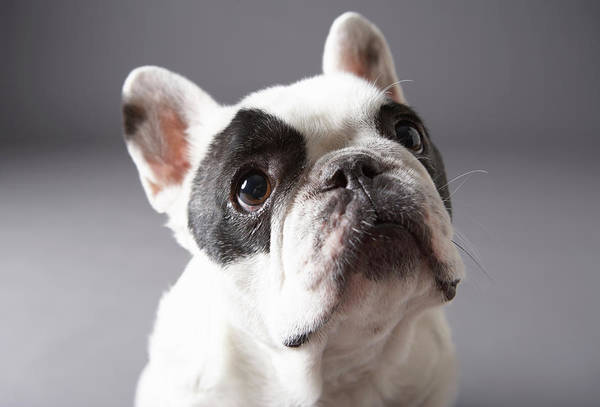 French Bulldog Photograph - Dog Looking Away by Chris Amaral