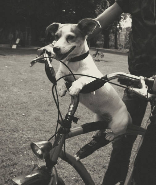 Pet Care Photograph - Dog On A Bicycle by Ineke Kamps