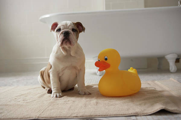Rubber Duck Wall Art - Photograph - Dog On Mat With Plastic Duck by Chris Amaral
