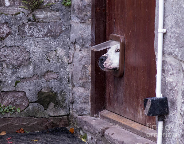 Wall Art - Photograph - Dog Poking Its Head Through A Cat Flap by David Muscroft