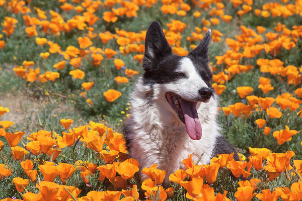 Wall Art - Photograph - Dog Sitting In A Field Of Poppies by Zandria Muench Beraldo