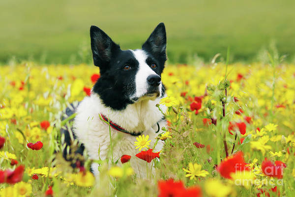 Wall Art - Photograph - Dog Sitting Pretty In The Flowers by Terri Waters
