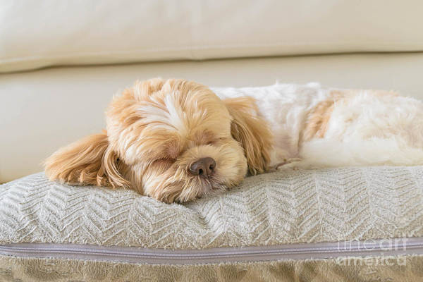 Wall Art - Photograph - Dog Sleeping Comfortably On Big Soft by 632imagine