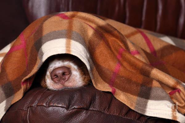 Purebred Wall Art - Photograph - Dog Sleeps Under The Blanket by Ivanova N