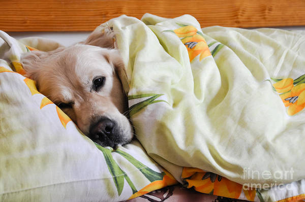 Wall Art - Photograph - Dog Sleeps Under The Blanket by Oleg Itkin