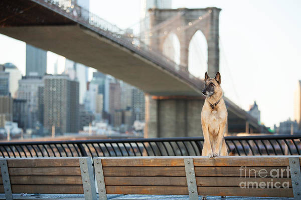 Urban Life Wall Art - Photograph - Dog Standing In Front Of Brooklyn by The Dog Photographer