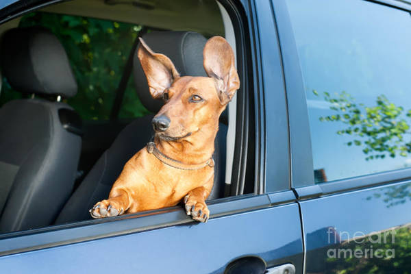 Wall Art - Photograph - Dog Travel By Car Looking Out Of The by Mariia Masich