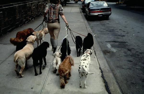 Photograph - Dog Walker In New York City by Alfred Gescheidt