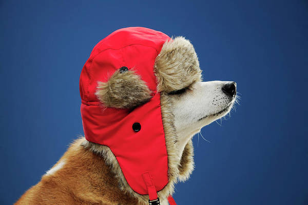 Knit Hat Photograph - Dog Wearing His Winter Hat by Chris Stein