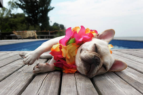 French Bulldog Photograph - Dog Wearing Lei By Pool by Tim Kitchen