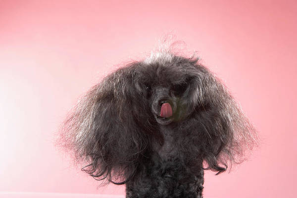 Poodle Photograph - Dog With Hair In Front Of Face And by Chris Amaral