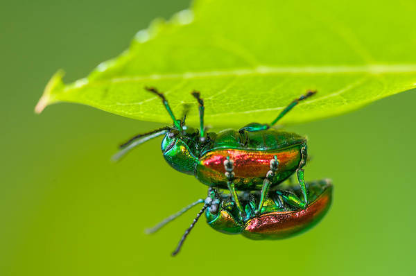 Wall Art - Photograph - Dogbane Leaf Beetles by Michael Lustbader
