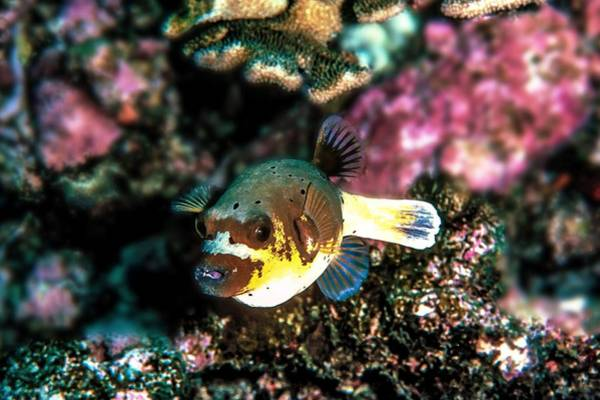 Wall Art - Photograph - Dogfaced Puffer Fish by Christina Ford