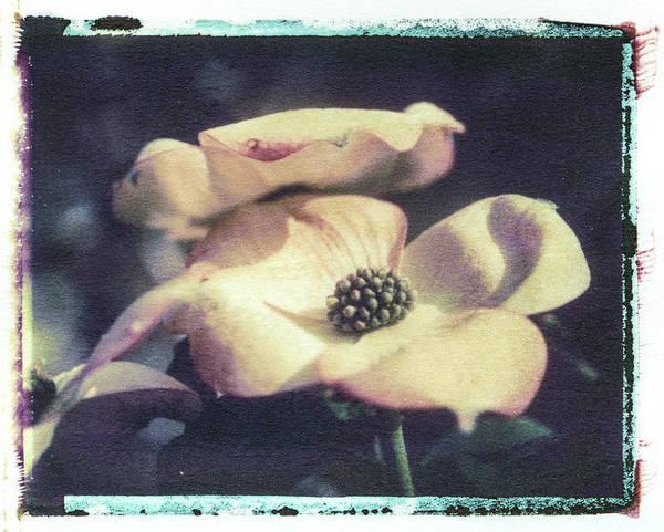 Photograph - Dogwood 3 by Joye Ardyn Durham