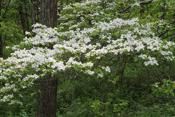 Photograph - Dogwood 3352 by John Moyer
