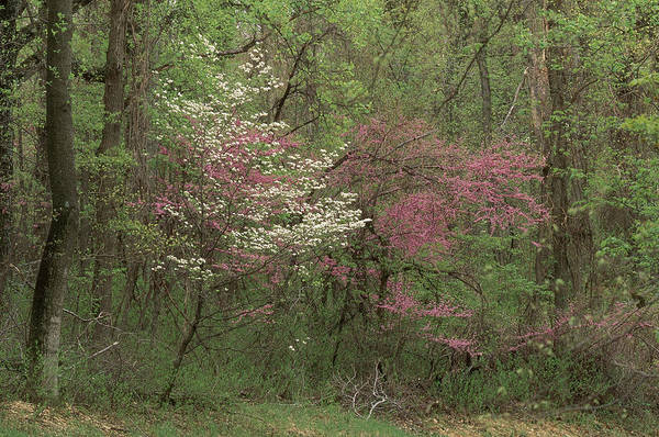 Photograph - Dogwood And Redbud In Virginia by Michael Lustbader