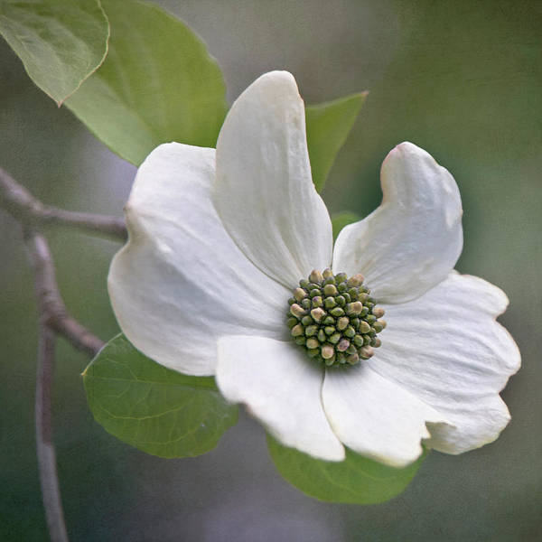 Photograph - Dogwood Bloom By Tl Wilson Photography by Teresa Wilson