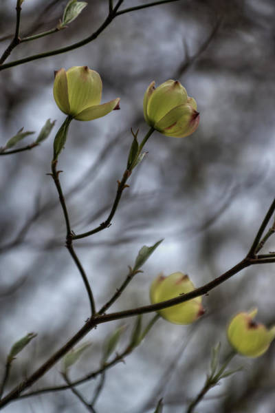 Photograph - Dogwood Blooms 001 by Lance Vaughn