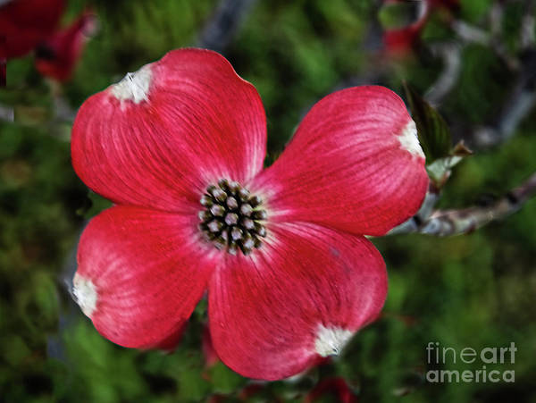 Wall Art - Photograph - Dogwood Macro by Robert Bales