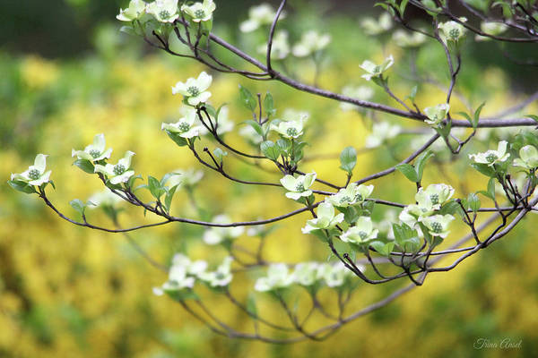 Photograph - Dogwood Tree In Bloom by Trina Ansel