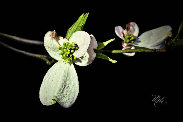 Photograph - Dogwood Tree by Meta Gatschenberger