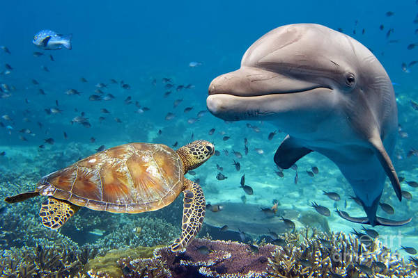 Pod Wall Art - Photograph - Dolphin And Turtle Underwater On Reef by Andrea Izzotti