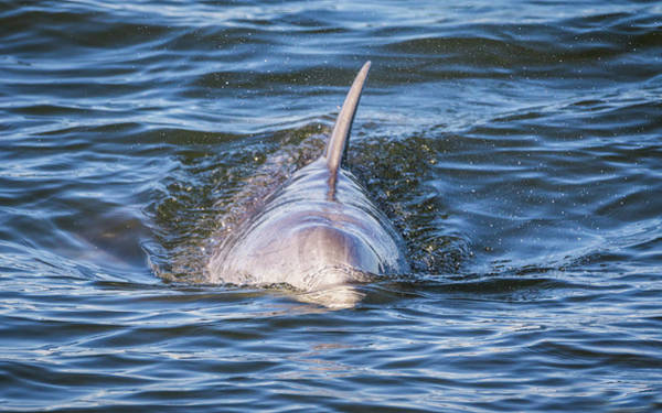 Photograph - Dolphin by Framing Places