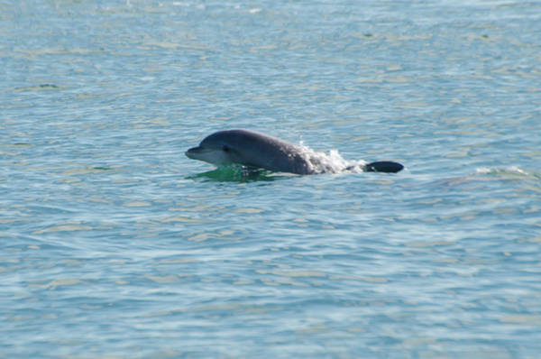 Photograph - Dolphin Surprise by Bill Cannon