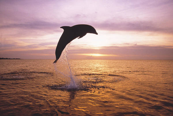 Mammal Photograph - Dolphin, Tursiops Truncatus, Leaping by Mike Hill