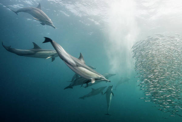 Bait Ball Photograph - Dolphins Attack by Dmitry Miroshnikov