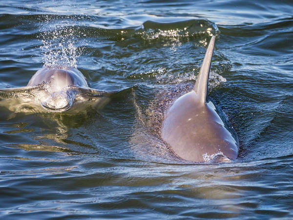 Photograph - Dolphins by Framing Places
