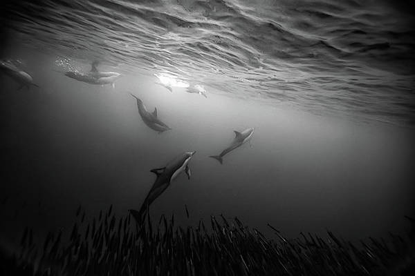 Underwater Photograph - Dolphins Re-grouping Afterorchestrated by Paul Cowell Photography