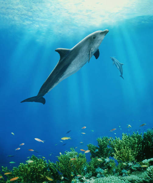 Photograph - Dolphins Swimming Underwater by Steve Bloom