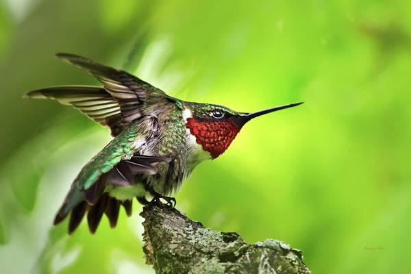 Photograph - Dominant Hummingbird Pose by Christina Rollo