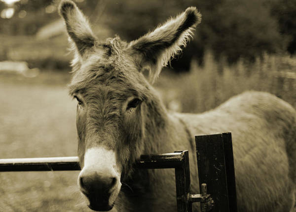 Wall Art - Photograph - Donkey by Dyker the horse 1976