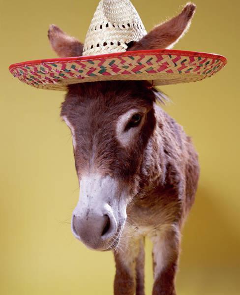 Straw Hat Photograph - Donkey Equus Hemonius Wearing Straw Hat by Digital Vision
