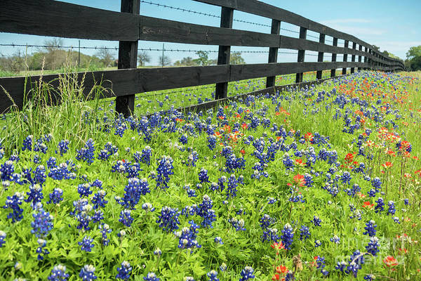 Texas Bluebonnet Digital Art - Don't Fence Me In by Elijah Knight